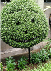 Smiley Shrub2.png